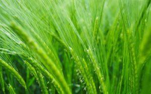 Barley Grass, Excelsior Alchemy