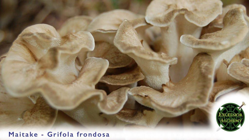 Maitake Mushroom Fruiting Body Extract 1:1