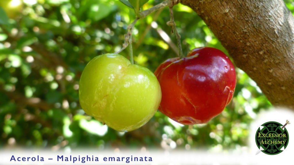 Acerola, Malpighia emarginata