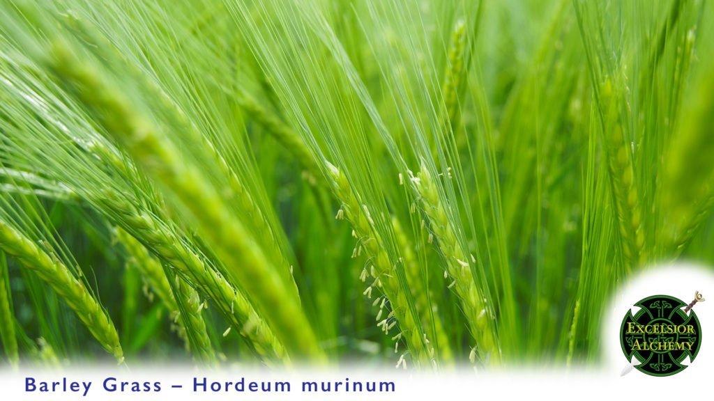 Barley Grass, Hordeum murinum
