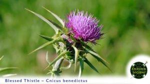Blessed Thistle, Cnicus benedictus