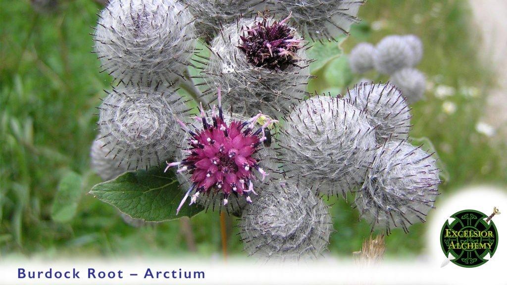 Burdock, Arctium