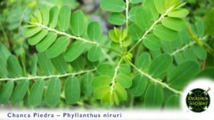 Chanca Pedra, Phyllanthus niruri
