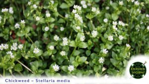 Chickweed, Stellaria media