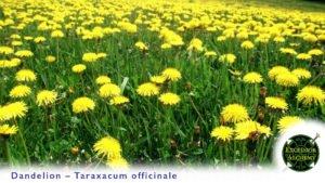 Dandelion, Taraxacum
