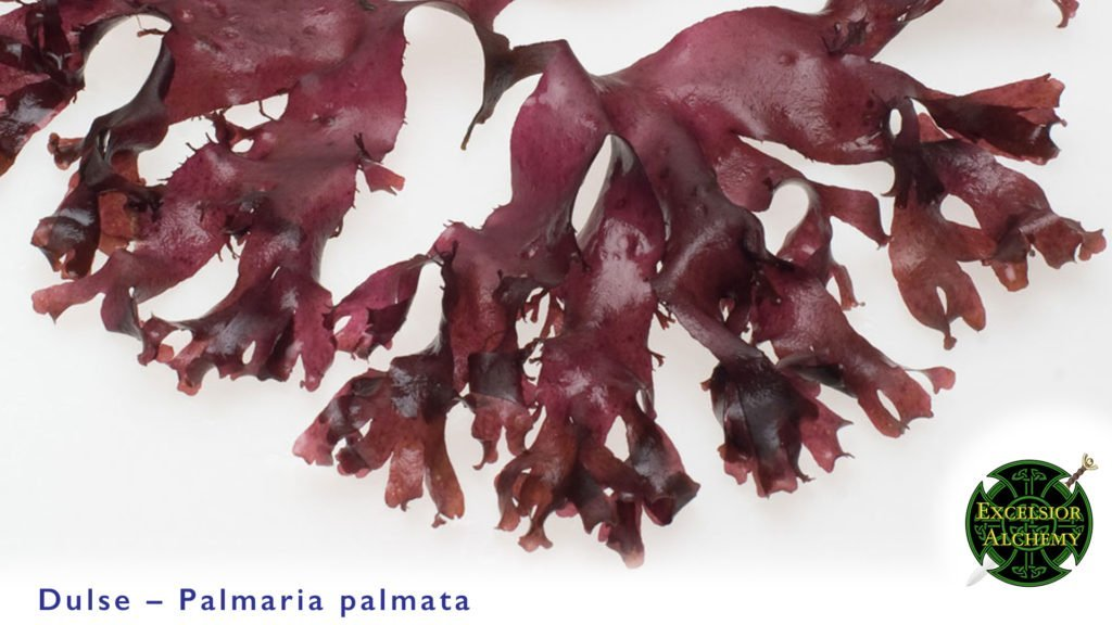 Dulse, Palmaria palmata