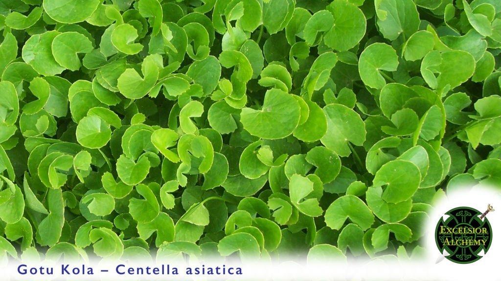 Goto Kola, Centella asiatica
