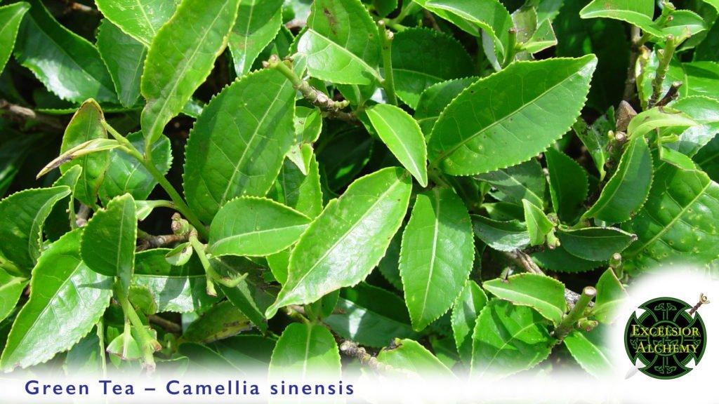 Green Tea, Camellia sinensis