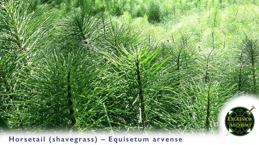 Horsetail, Equisetum
