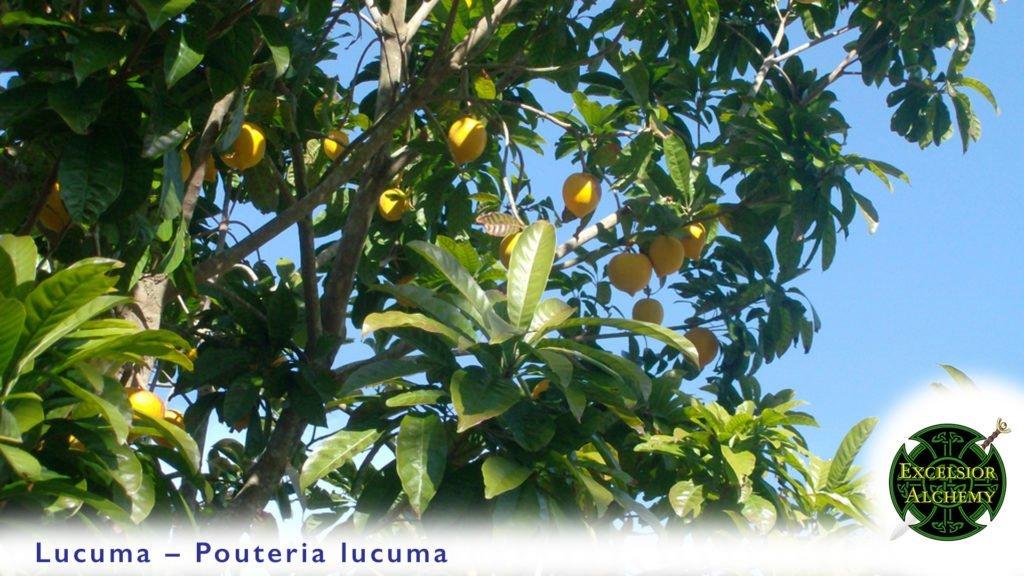 Lucuma, Pouteria lucuma