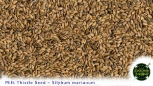 Milk Thistle, Silybum marianum