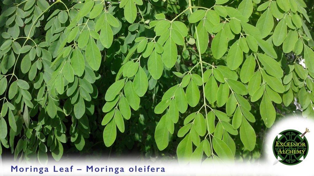 Moringa, Moringa oleifera