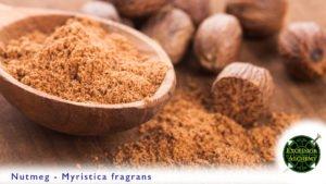 Nutmeg - Myristica fragrans