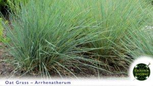 Oat Grass, Arrhenatherum elatius