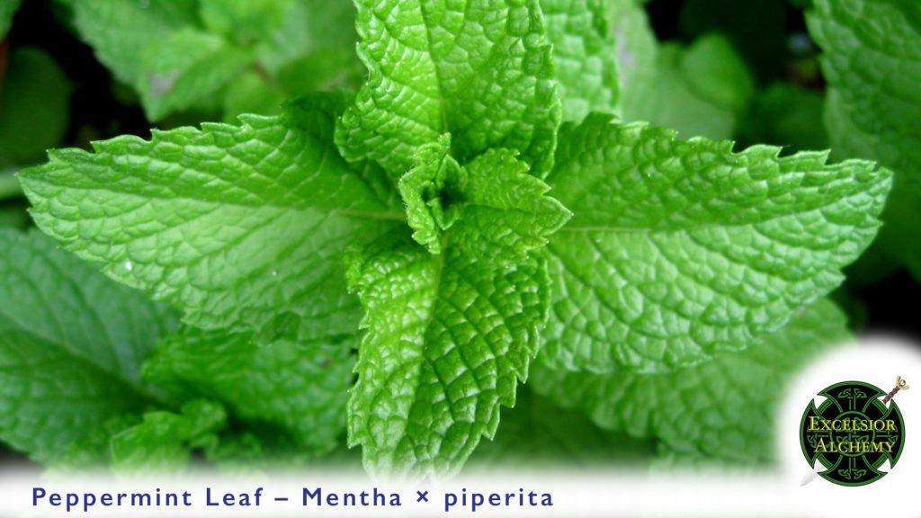 Peppermint Mentha × piperita