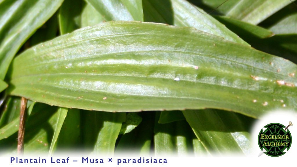 Plantain Leaf Musa × paradisiaca