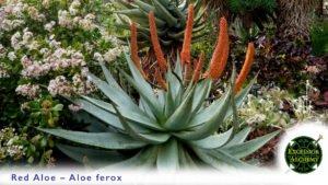 Red Aloe, Aloe Ferox