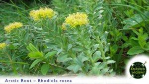 Rhodiola Root, Rhodiola rosea