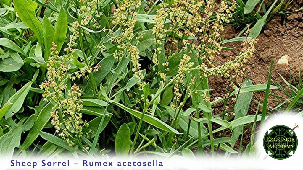 Sheep Sorrel Rumex acetosella