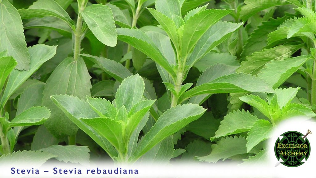 Stevia Stevia rebaudiana