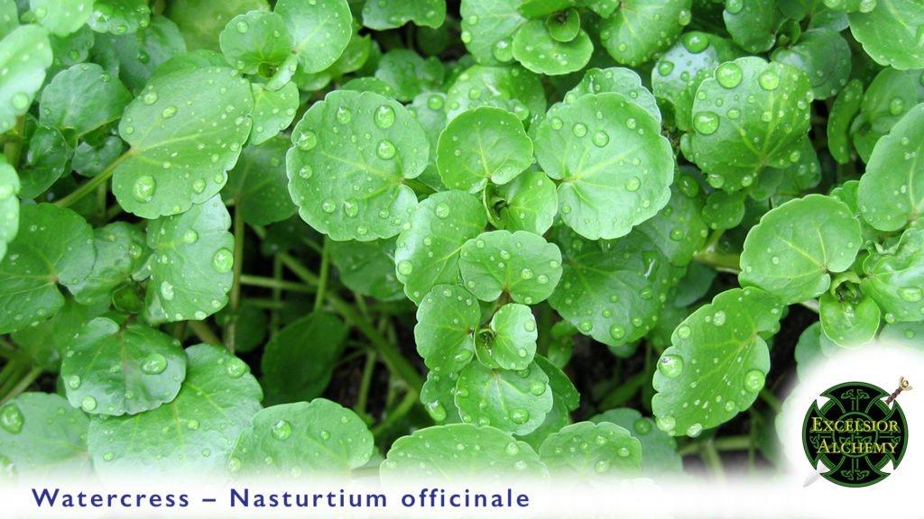 Watercress Nasturtium officinale