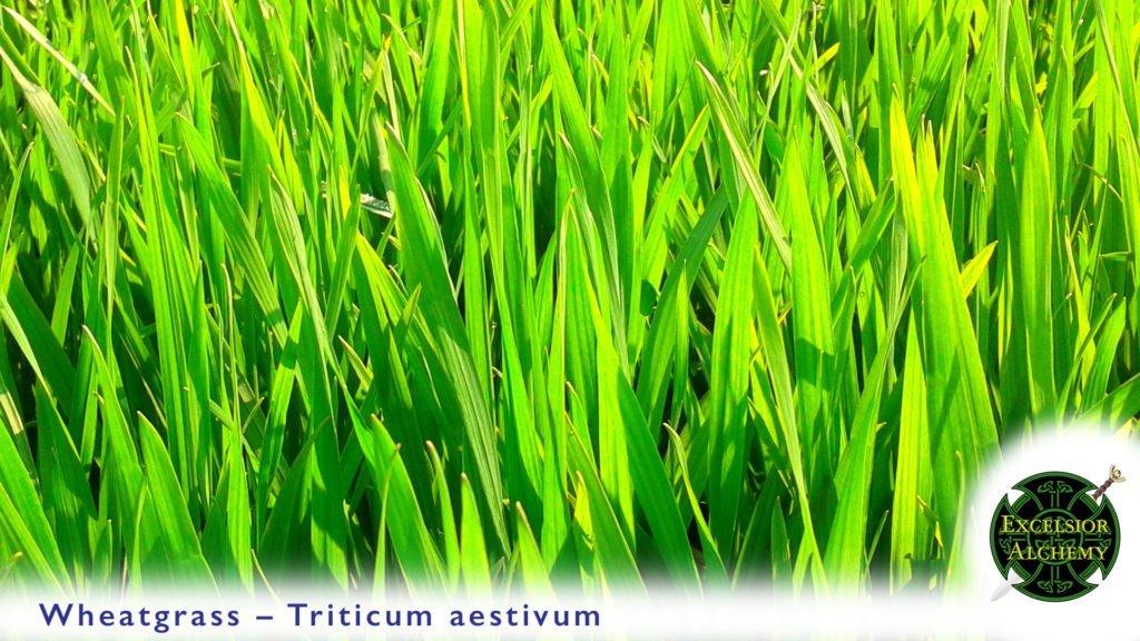 Wheatgrass Triticum aestivum
